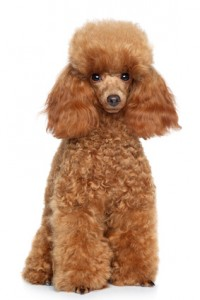 What Is The Best Dog Food For A Poodle? | Toy Poodle | Dogfood.guru