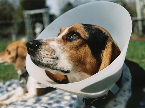 What Is The Best Dog Food for a Beagle? | Beagle in Cone | Dogfood.guru