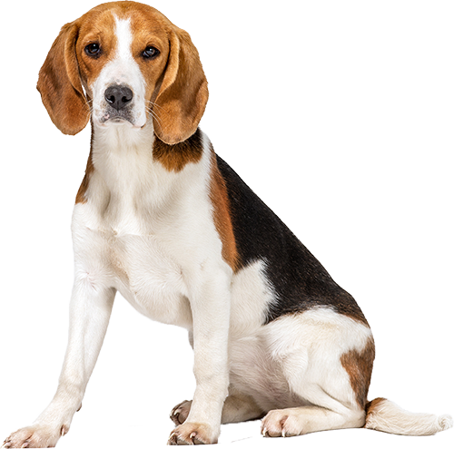 Dog Food Recipes For Beagles