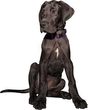 What Is The Best Dog Food for a Great Dane? | Great Dane Puppy | Dogfood.guru