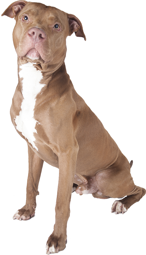 What Is The Best Dog Food for a Pitbull? | Pitbull | Dogfood.guru
