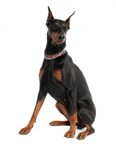 What Is The Best Dog Food for a Doberman Pinscher? | Doberman Pinscher | Dogfood.guru