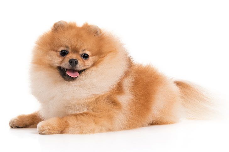 What is the Best Dog Food For a Pomeranian?
