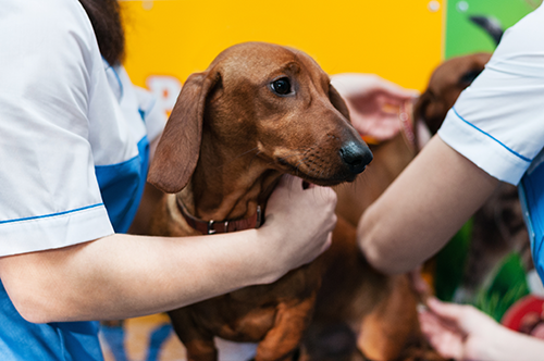 Dachshund Veterinary Check-Up