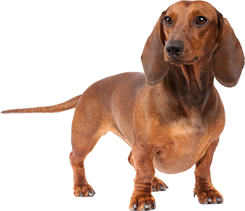 Taste Of Wild Dog Food >> Best Dog Food For Dachshunds | Ultimate Buyer's Guide