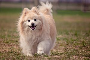 DIY No-Bake Dog Treats   Pomeranian   Dogfood.guru