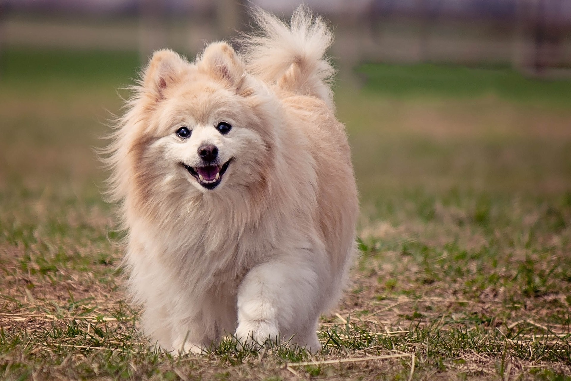 What is the best dog food for a pomeranian pomeranian nvjuhfo Image collections