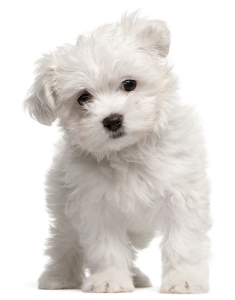 What Is The Best Dog Food for a Maltese? | Maltese Puppy | Dogfood.guru