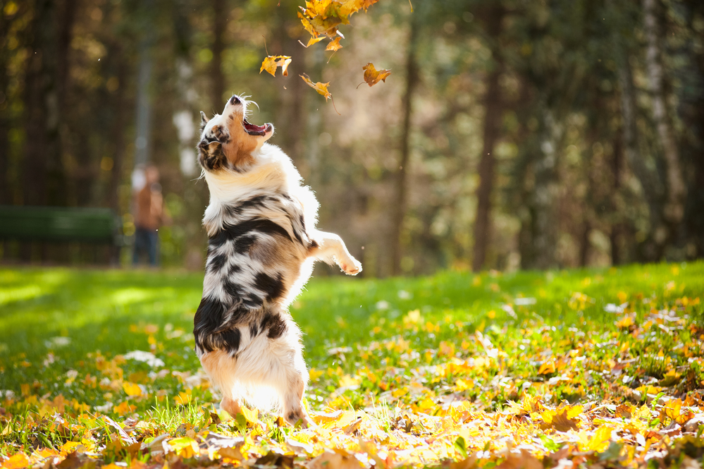 What Is The Best Dog Food For An Australian Shepherd