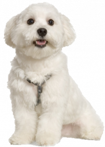 What Is The Best Dog Food for a Maltese? | Maltese | Dogfood.guru