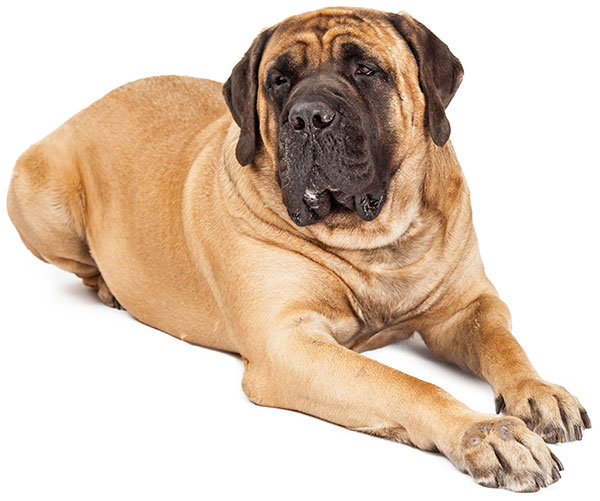 English Mastiff Homemade Dog Food