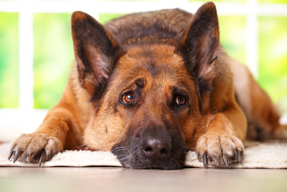 Top  Dog Foods For German Shepherds