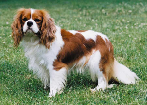 What Is The Best Dog Food for a Cavalier King Charles Spaniel? | Cavalier King Charles Spaniel | Dogfood.guru