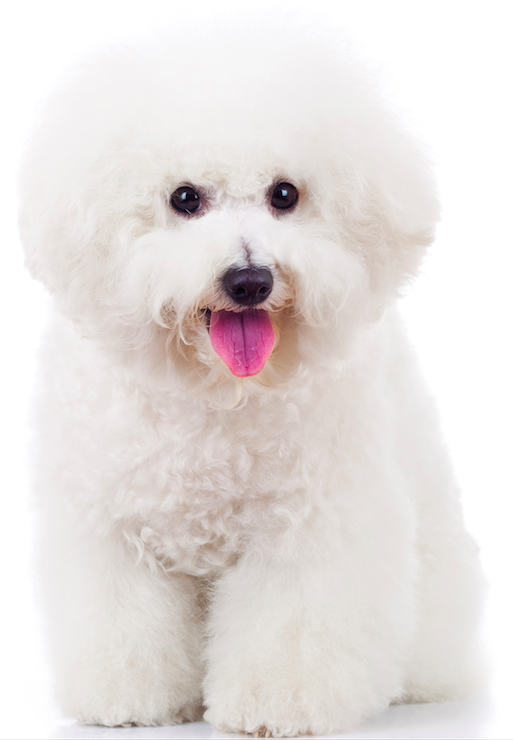 What Is A Good Dog Food For Bichon Frise