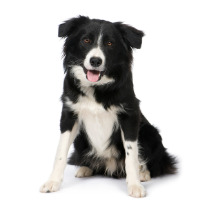 Top Rated Dog Food For Border Collies