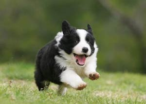 What Is The Best Dog Food For A Border Collie