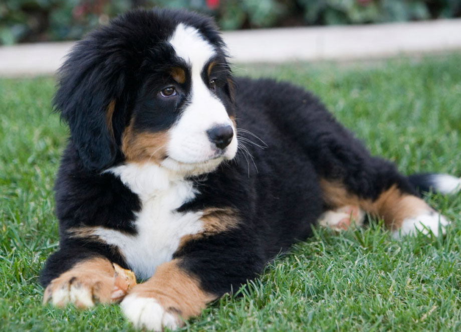 What Is The Best Dog Food For Bernese Mountain Dogs