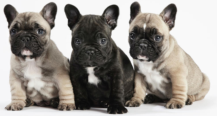 What Is The Best Dog Food for a French Bulldog? | French Bulldog Puppies | Dogfood.guru