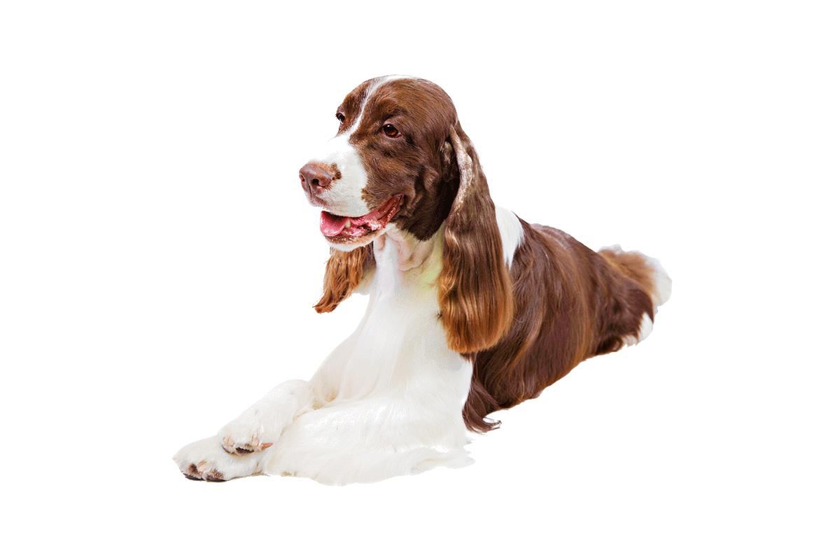 What Is The Best Dog Food For An English Springer Spaniel