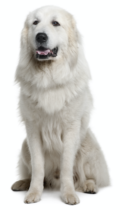 What Is The Best Dog Food for a Great Pyrenees? | Great Pyrenees | Dogfood.guru