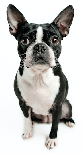 Best Dog Food For Boston Terriers | Boston Terrier | DogFood.guru