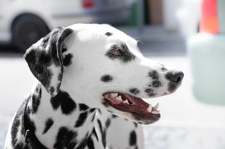 Best Dog Food For Dalmatians Dog Food Guru