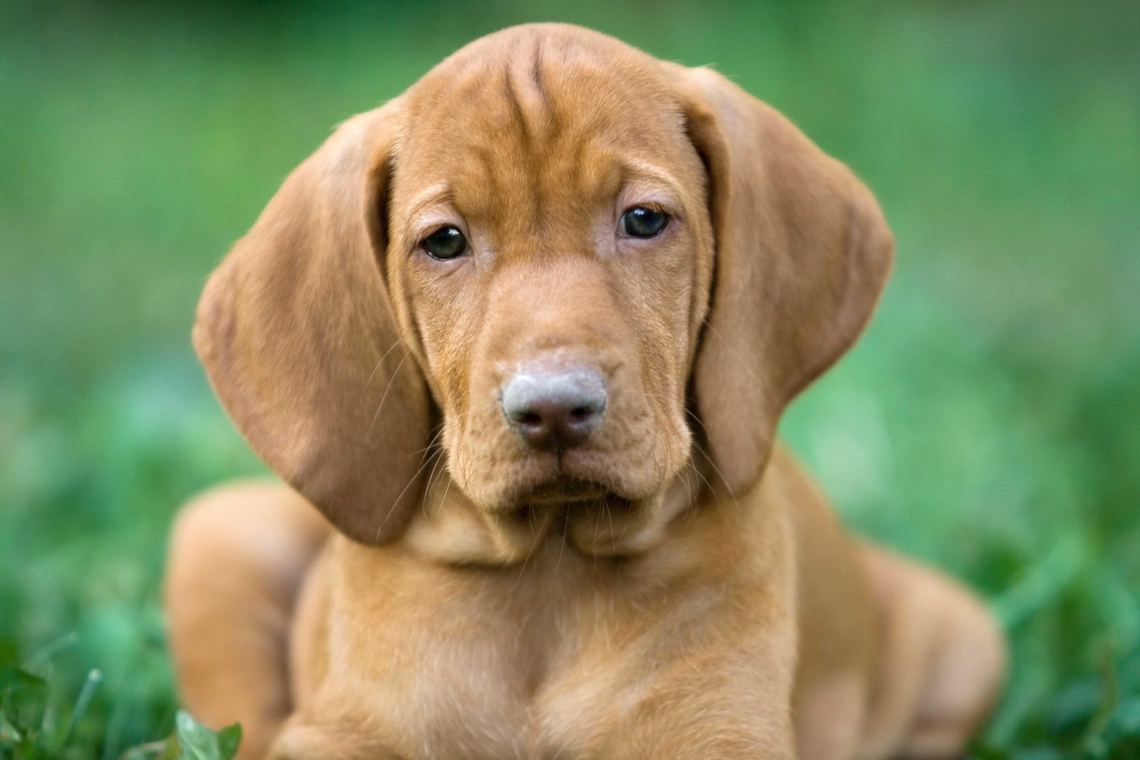 Hungarian Viszla, puppy