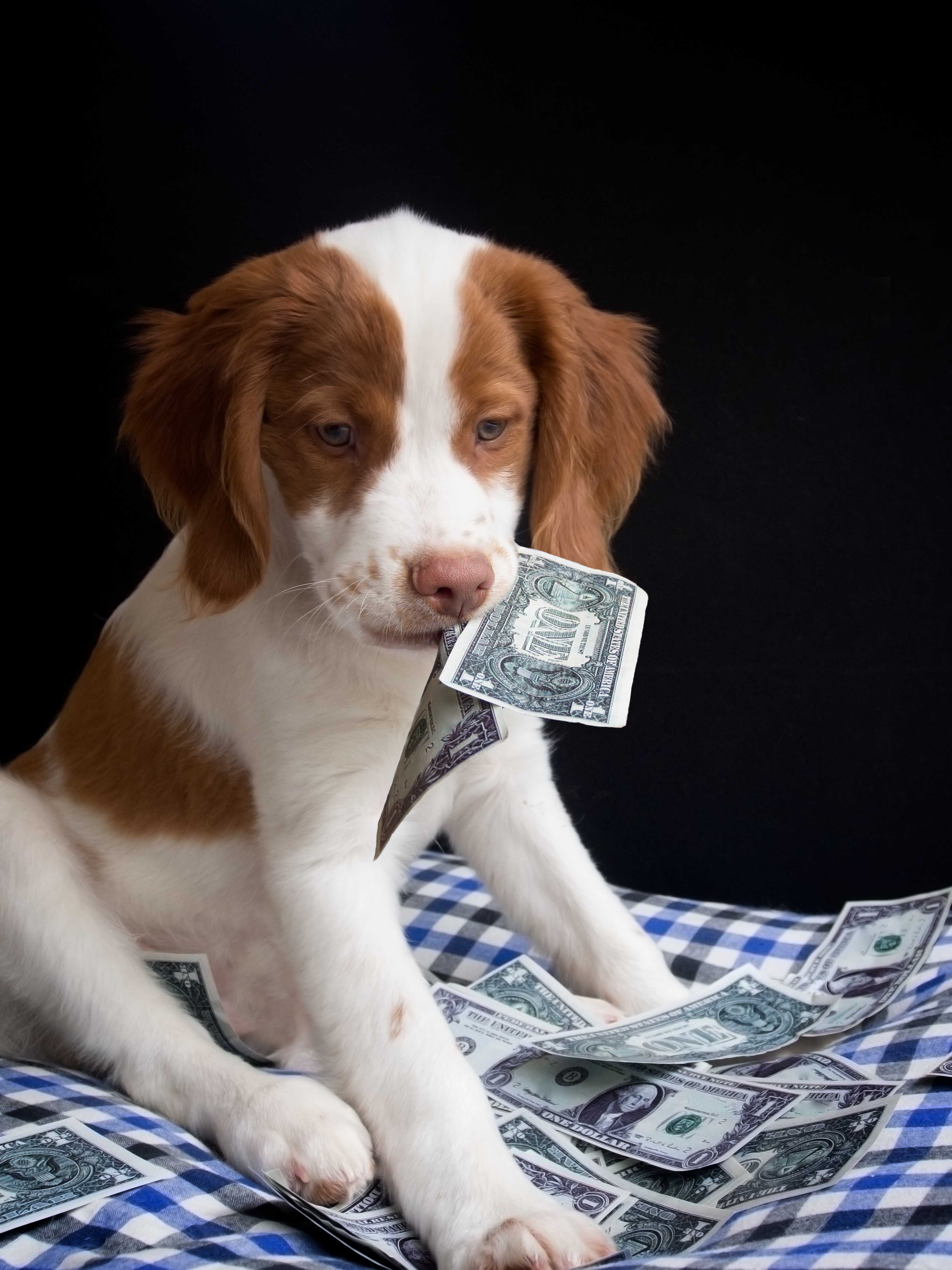 expensive brittany puppy eating money