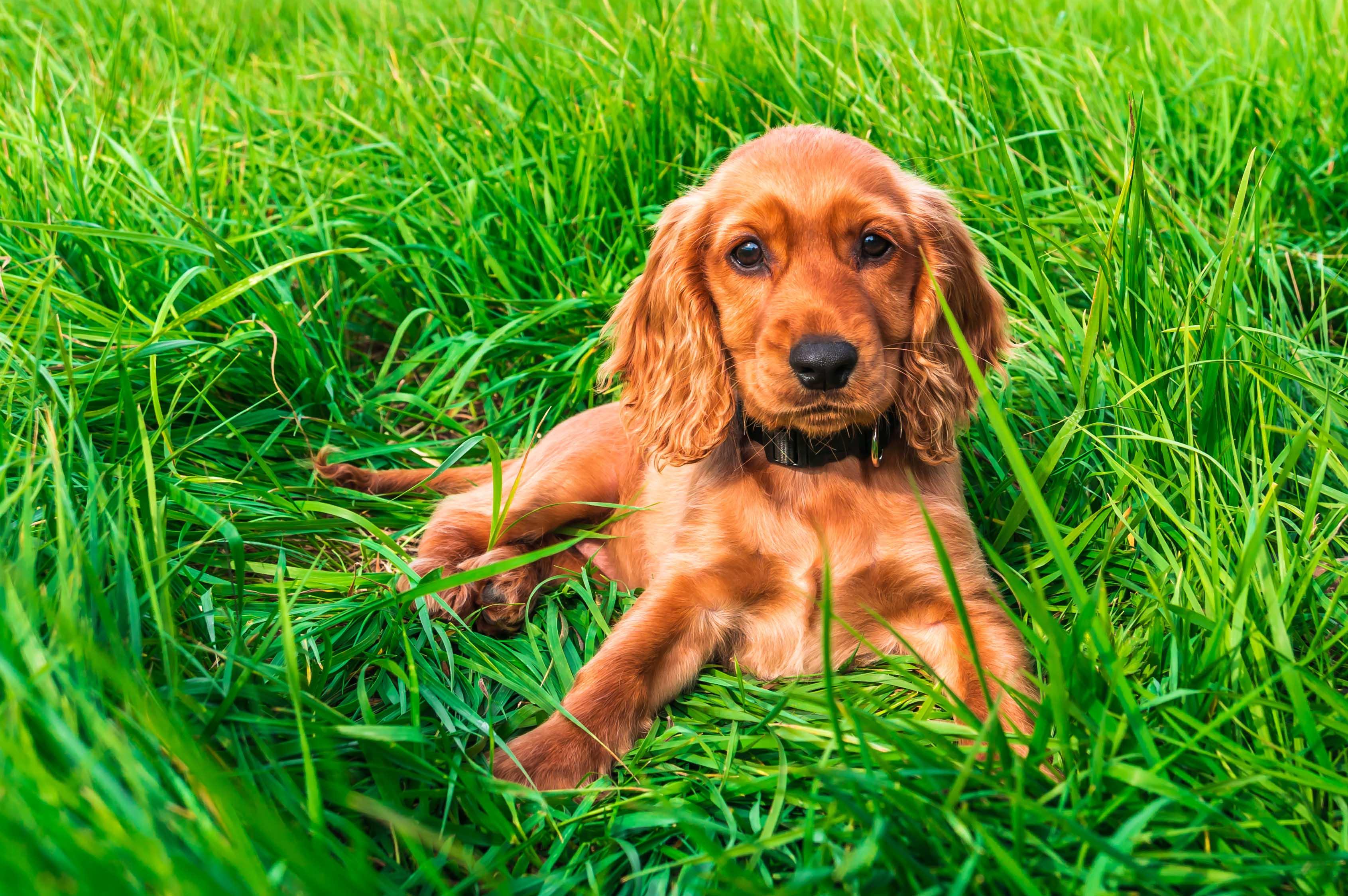 English cocker spaniel puppy lying on the green grass