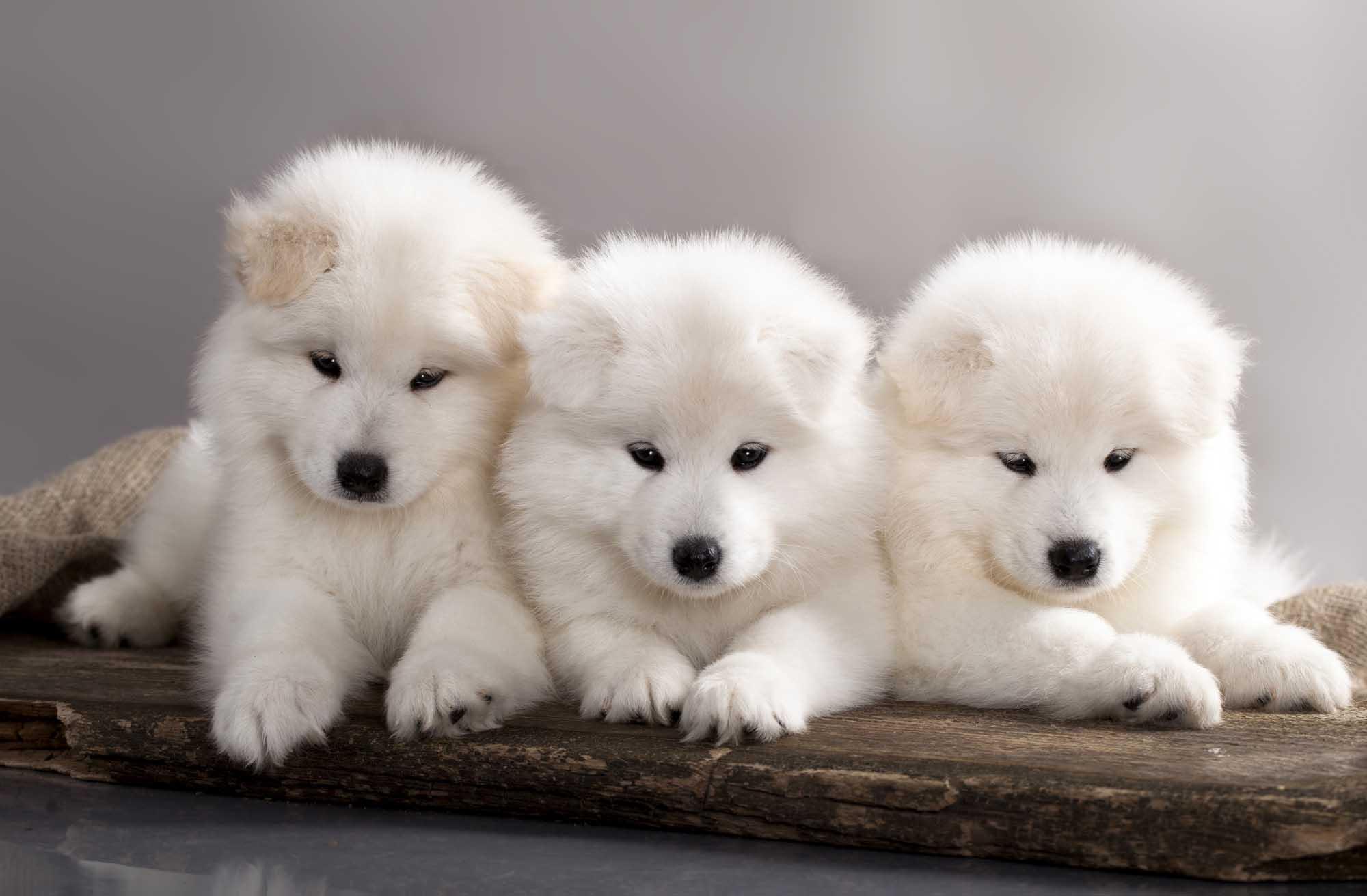 Best Dog Food Samoyed Puppies