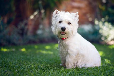 Best Dog Food for a West Highland White Terrier | Westie | Dogfood.guru