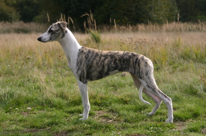 best dog food whippet