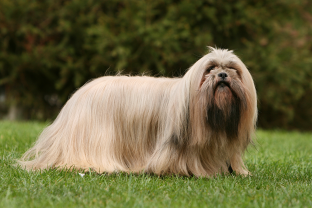 How To Train Lhasa Apso Dog