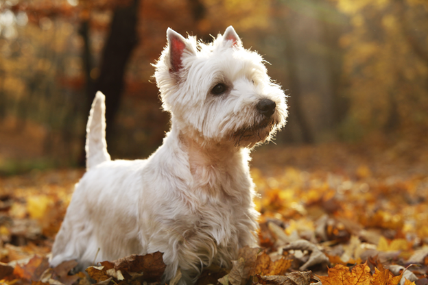 best dog food for a west highland white terrier. Black Bedroom Furniture Sets. Home Design Ideas