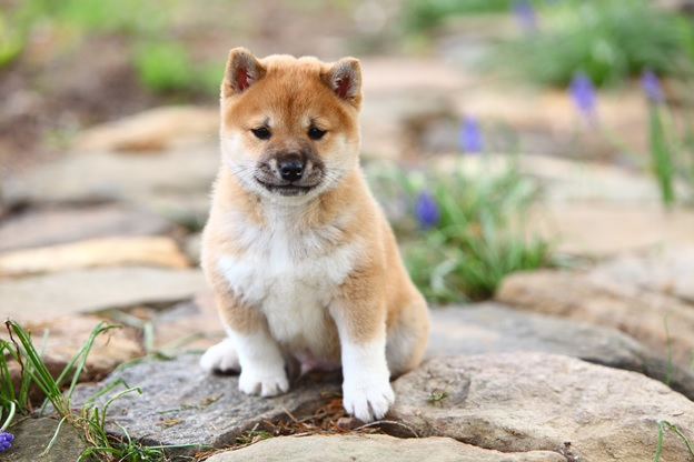 What Is The Best Dog Food For A Shiba Inu