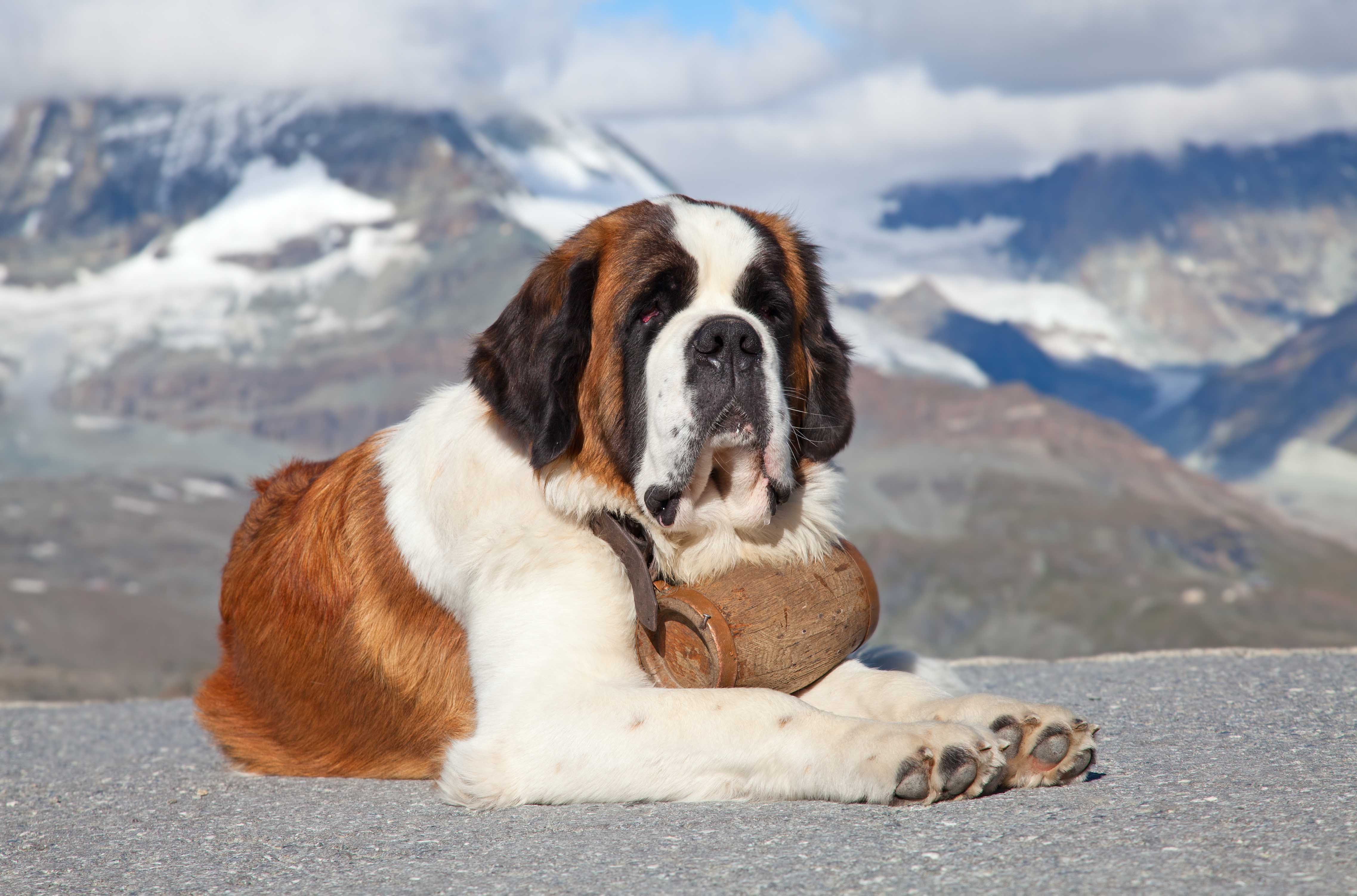 best dog food saint bernard
