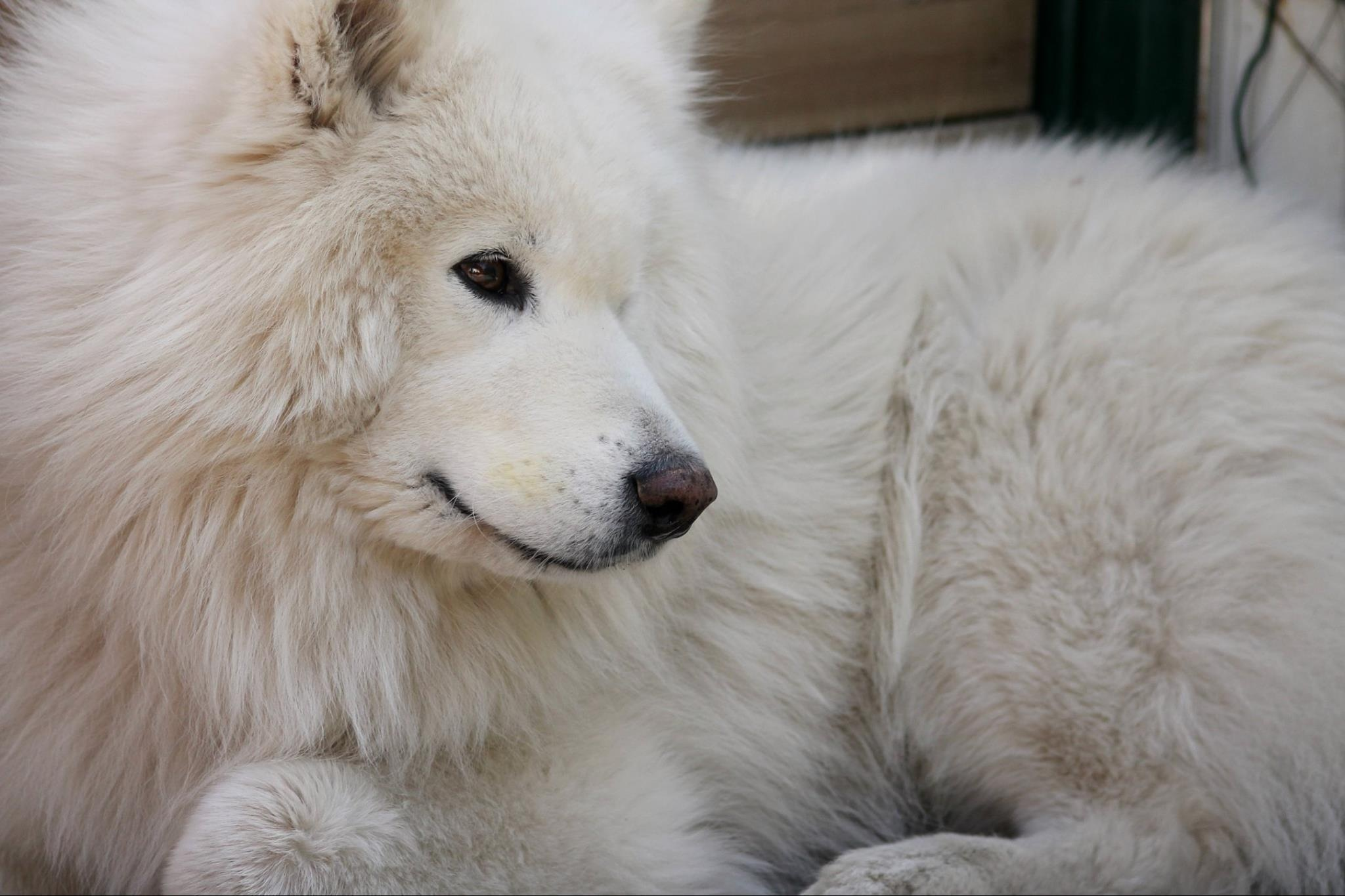 Samoyed Close up
