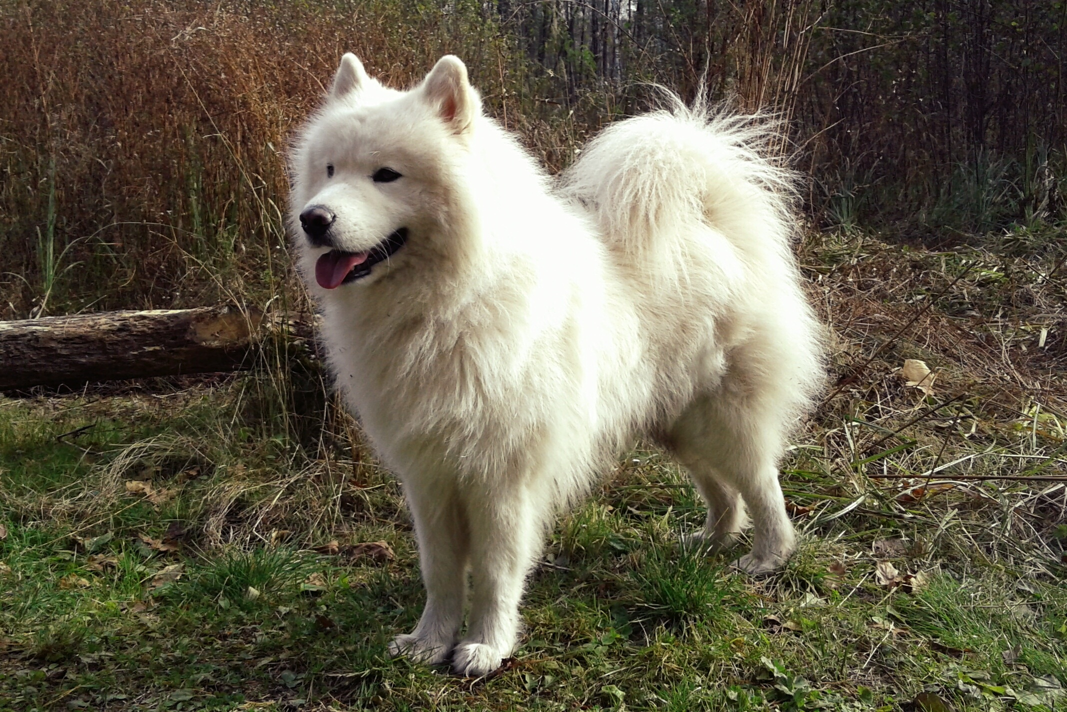 Samoyed Smile