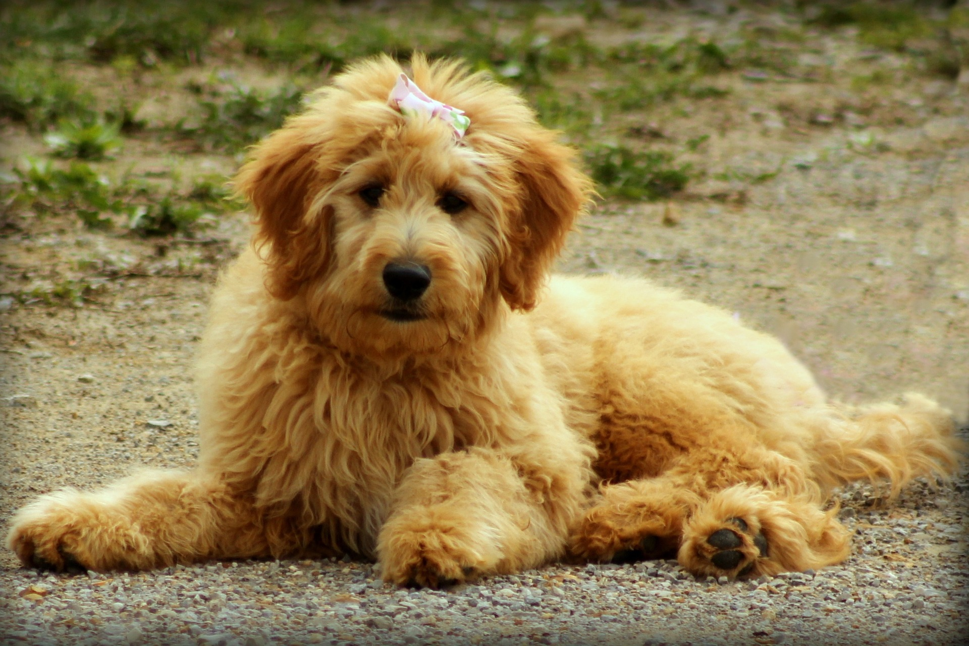 What Is The Best Dog Food for a Goldendoodle? | Goldendoodle Adult Dog | Dogfood.guru
