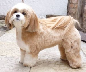 What Is The Best Dog Food for a Lhasa Apso? | Lhasa Apso | Dogfood.guru