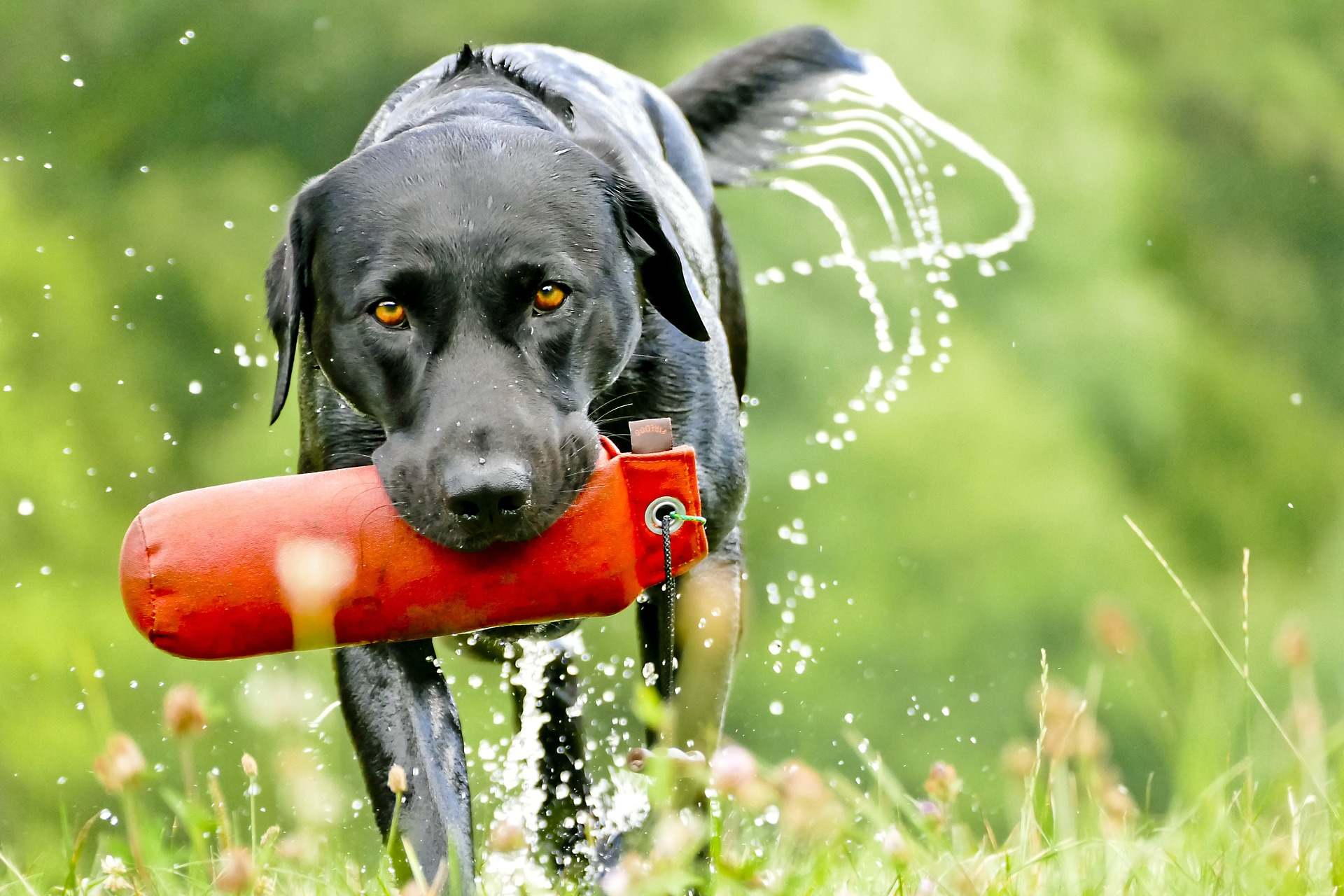 best dog food sporting dog labrador