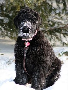 Black Russian Terrier puppy enjoying the snow.