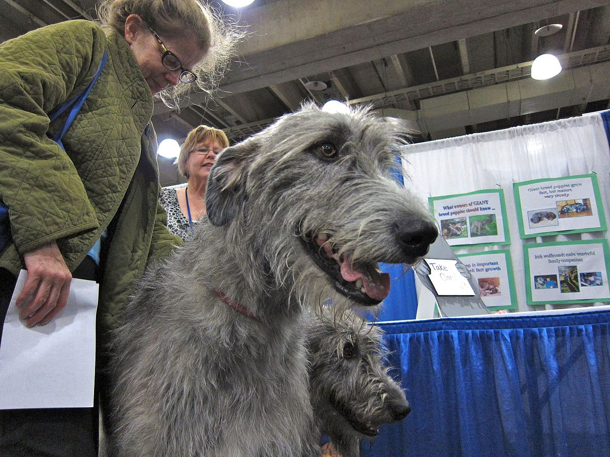 Best dog food for the irish wolfhound dog food guru irish wolfhounds at akcs meet the breed event from petsadviser geenschuldenfo Image collections