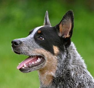 The Ultimate Australian Cattle Dog Food Buyer S Guide Dog Food Guru