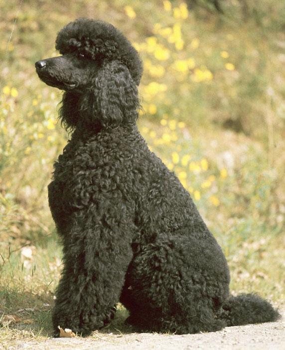 Best Dog Food Poodle
