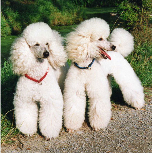 Best Dog Food Poodles