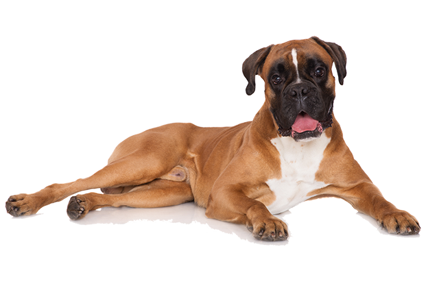 What are the Best Dog Foods for Boxers? | Boxer | Dogfood.guru