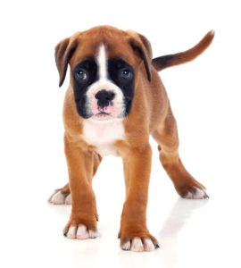What are the Best Dog Foods for Boxers? | Boxer Puppy | Dogfood.guru