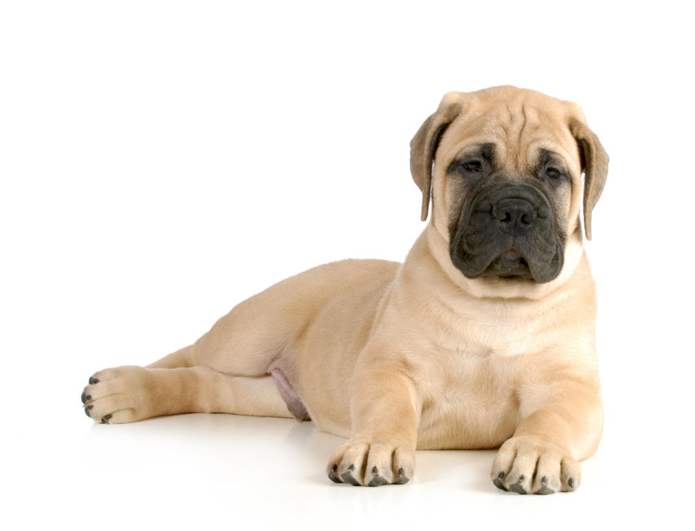 What Is The Best Dog Food For A Mastiff