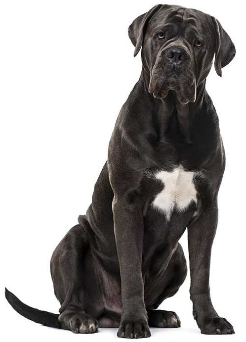 What Is The Best Dog Food For a Cane Corso? | Cane Corso | Dogfood.guru